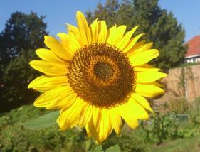 sunflowersmall